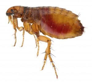 Flea Control Ilfracombe