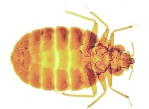 Bed Bug Control Bridport