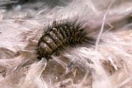carpet beetle Winkleigh